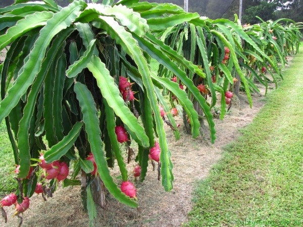 5d57d7df02879 Dragon Fruit Farming Information Guide