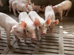 Recombinetics, DNA Genetics form alliance to end surgical castration of swine