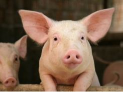 Weanling pigs may see digestion bump from additive zinc oxide nanoparticles