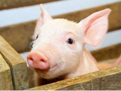 DDGS may support nursery pig growth, performance when added to feed