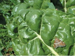 Other Swiss chard pests