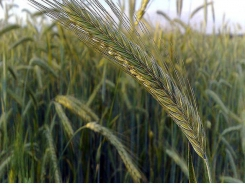 Hybrid rye may be alternative to corn in swine diets