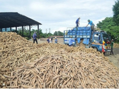 Cassava exports enjoy massive turnover increase throughout November