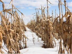 Slow US planting, growing seasons end in delayed corn, soybean harvest