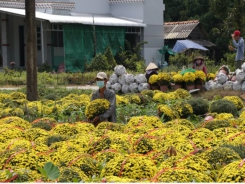 Mekong Delta's main flower, ornamental plant growing district affected by saltwater in rive