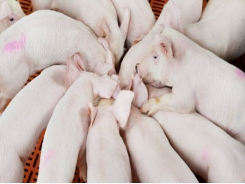 Pig survivability project to reshape pork industry