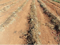 No-till: increasing soil organic content