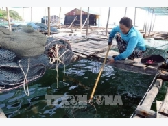 Good times for Kiên Giang farmers breeding fish in cages