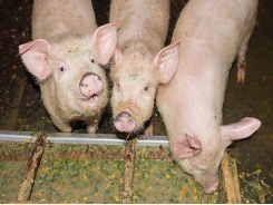 5 feeding strategies to combat piglet diarrhea