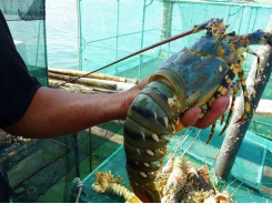 Ninh Thuận develops sustainable marine aquaculture