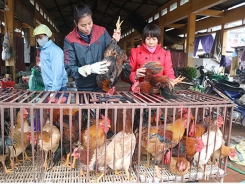 Bac Giang's chicken raising for Tet: quality is better than quantity