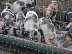7 ways to increase weaned piglets' feed intake
