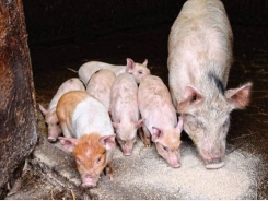Piglets still need special feeds to overcome early weaning