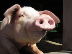 Sows under stress: Antioxidant supplement may help reproductive performance