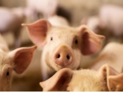 New research highlights opportunity to improve the iron status of piglets