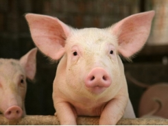 Pig performance may see boost, but mode of action remains aloof in copper feeding trial