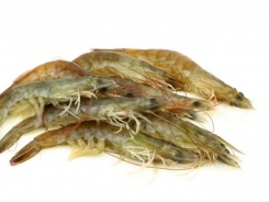Shrimp trial sets stage for insect protein in aquafeed