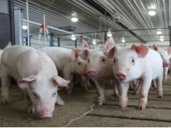 Adding dietary fat to pig feed does not decrease the digestibility of any minerals