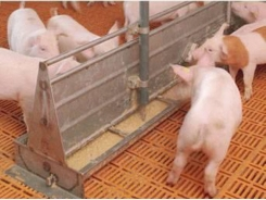 Points of concern with liquid feeding for pigs