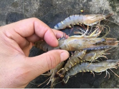 Local shrimp farmers to operate on trading floor