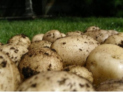 Growing Potatoes Successfully – Seed Potatoes