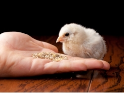 To feed or not to feed? The importance of early chick feeding