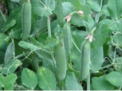 Expert Tips for Growing Peas – Growing Snap Peas
