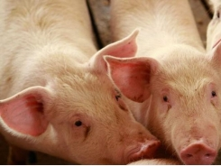 Dirty pigs need more dietary threonine