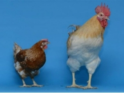 Gene expression tied to dimorphism in chickens
