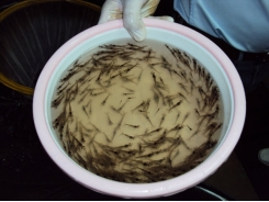 Assessment of supplemental Bacillus probiotics in whiteleg shrimp juveniles
