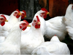 Inclusion of DDGS 