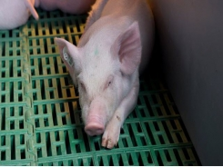 Pigs may transmit FMD before showing symptoms