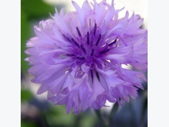 How to Grow Cornflower (Bachelor Button)