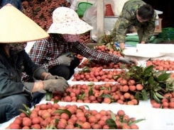 Vietnamese lychees shipped to more than 30 countries