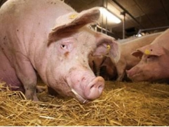Reduced antibiotic consumption in Danish pig production yields positive results