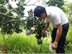 Bình Phước farmers reel in big profits from citrus fruits