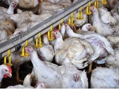 Holistic approach to feeding heat-stressed broilers