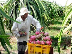 Tiền Giang to expand dragon fruit growing area
