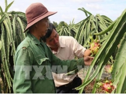 High prices, demand make dragon fruit season sweet for Bình Thuận farmers