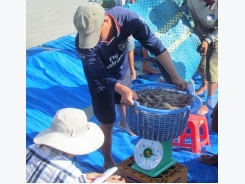 Farmers turn to shrimp as prices soar