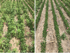 Managing weed resistance to glyphosate