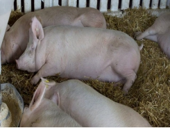Reduced mineral digestibility may affect sow longevity