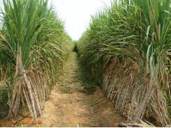 Sugarcane: lessons from Australia