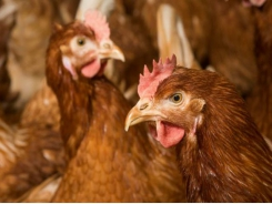 Keel bone damage in poultry layers explored