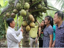 Trà Vinh District gets brand certifications for specialty agricultural products