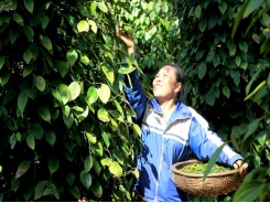 Viet Nam unlikely to reach pepper export target this year