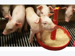 Strategies to control piglet weight variability in the nursery (2/2): Feeding and feeding