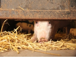 Tryptophan level, light exposure may alter piglet behavior but not feed intake