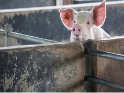 Holding time for feedstuffs may reduce swine disease risk