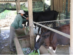 Mekong Delta develops beef, dairy farming
